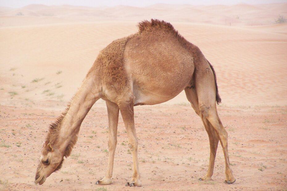 camel-376864_1920-2
